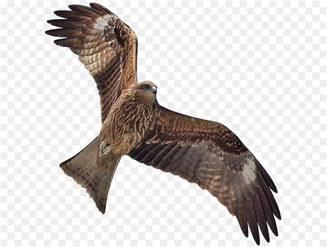 eagle bird png    transparent bird