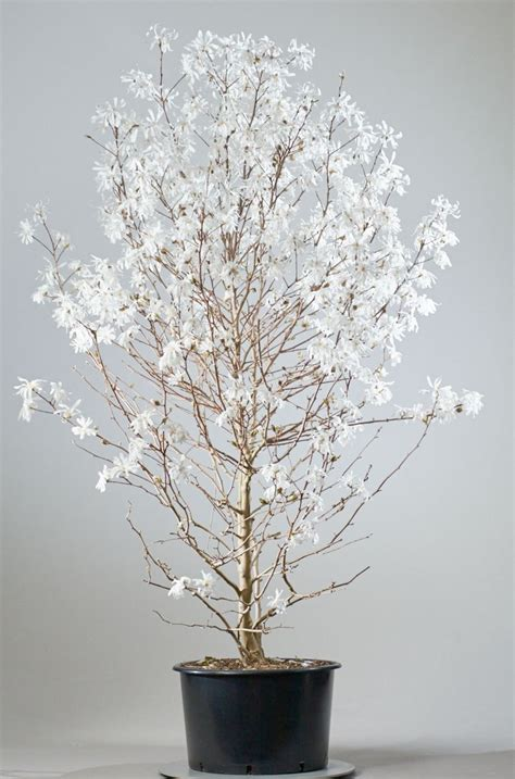 sternmagnolie kaufen sternmagnolie magnolia stellata jetzt g 252 nstig