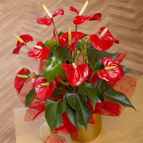 christmas plants red anthurium plant anthurium plants by post bunches co uk