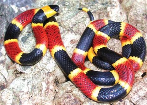 coral snake colors 10 facts about coral snakes fact file