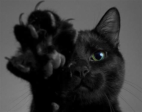 beautiful black cat breeds purrfect cat breeds