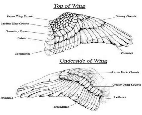 bird wing diagram more feather ideas tattoos feathers wings
