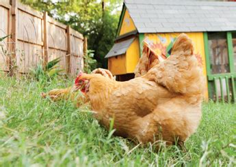 Backyard Chickens Cdc Cdc To Backyard Coop Owners Chickens Are Not House Pets