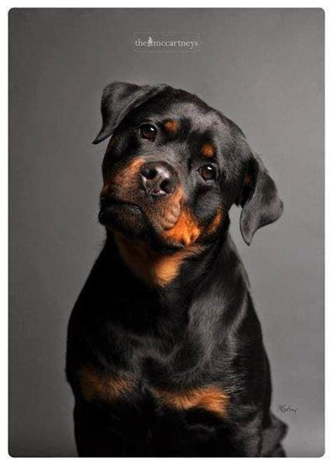 most obedient dogs top 10 most expensive breeds beautiful no matter what and puppys