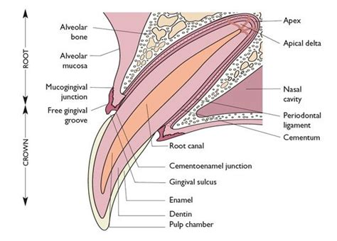 cross section of a tooth illustration of the cross section of a canine tooth in a
