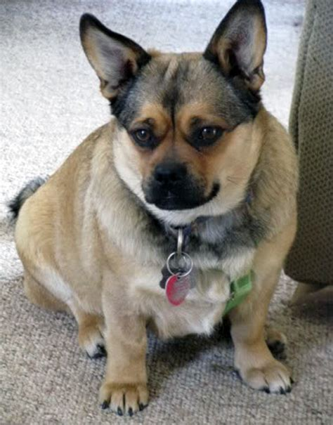 mixed breed pugs corgi cross breeds are 25 pictures
