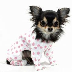 pomeranian pajamas 1000 images about haired chihuahua pomeranian on haired