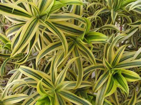 Dracaena Reflexa | trees planet dracaena reflexa pleomele song of india