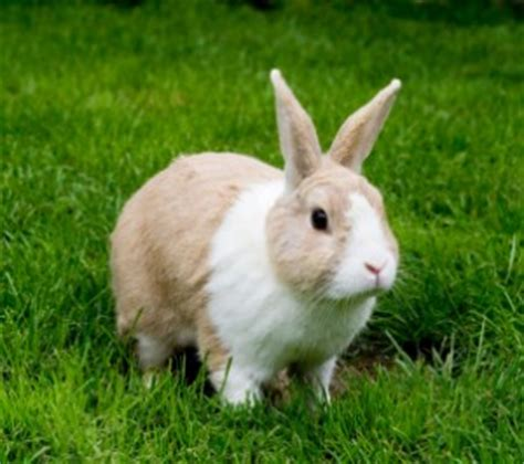 Kelinci Kaki S binatang sekilas tentang kelinci