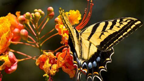black wallpaper with yellow butterflies butterfly wallpapers desktop wallpapers