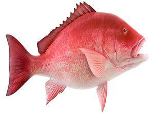 teknik  mancing ikan kakap merah tips ikan