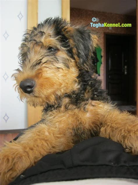 airedale puppies for sale ohio airedale terrier and healer mix breeds picture