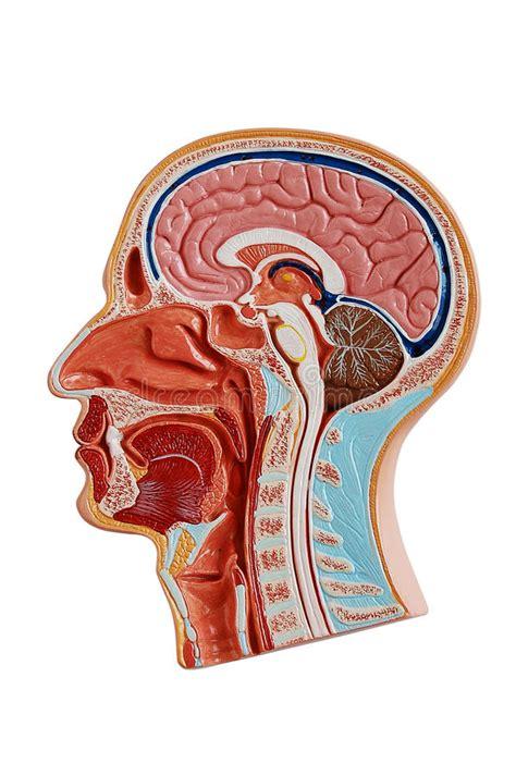 testa anatomia anatomia della testa umana illustrazione di stock