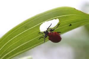 Leaf Eating Garden Pests - file scarlet lily beetle eating leaf jpg wikipedia