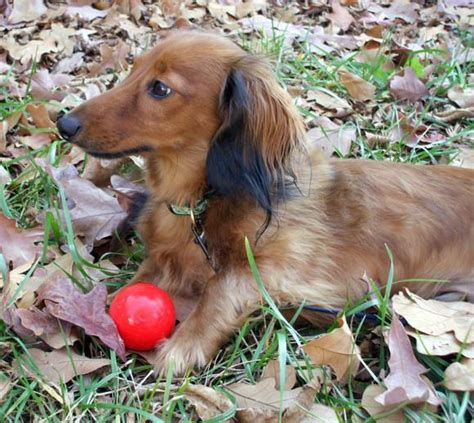 micro mini dachshund puppies for sale nc miniature dachshund nc miniature dachshunds nc akc dachshund free breeds picture