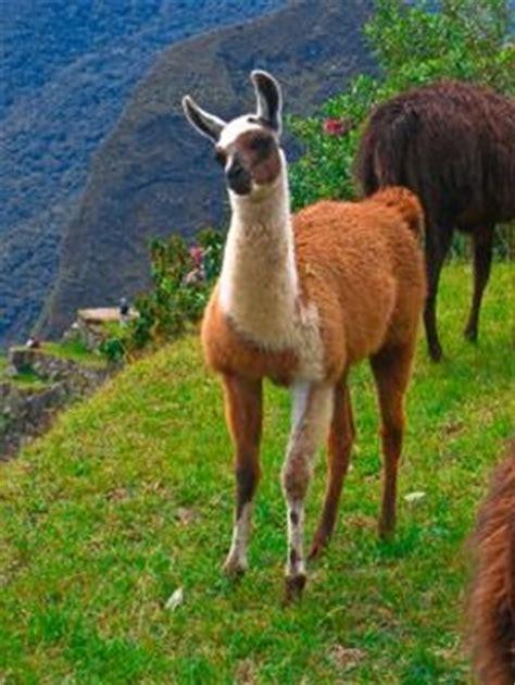 imagenes animal llama llama animal fotos y vectores gratis