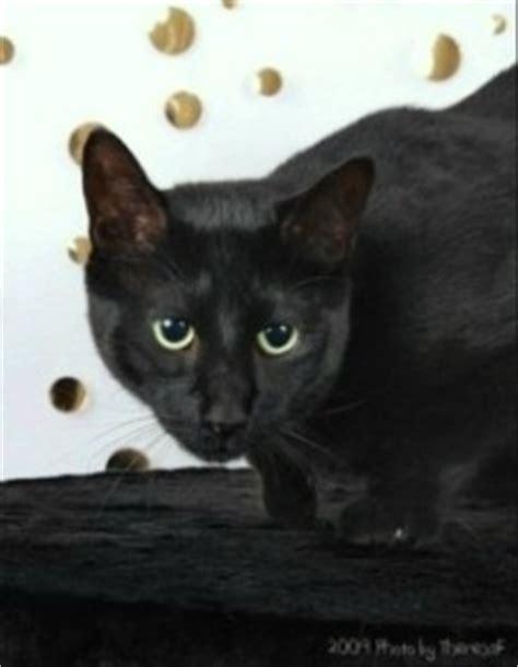 film blue russian black russian blue cat download foto gambar wallpaper