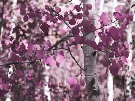 purple tree daydreaming images purple tree hd wallpaper and