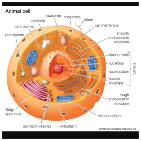 animal cell pilates animal cell cell model cell biology