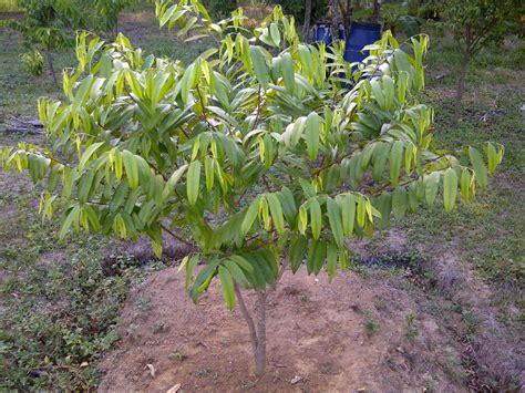 Bibit Pohon Gaharu Di Medan budidaya dan perawatan gaharu hirukpikuk
