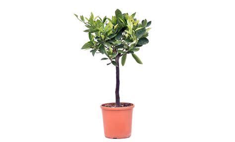 pianta di fragola in vaso pianta di arancio fragola in vaso 20 cm savini vivai di