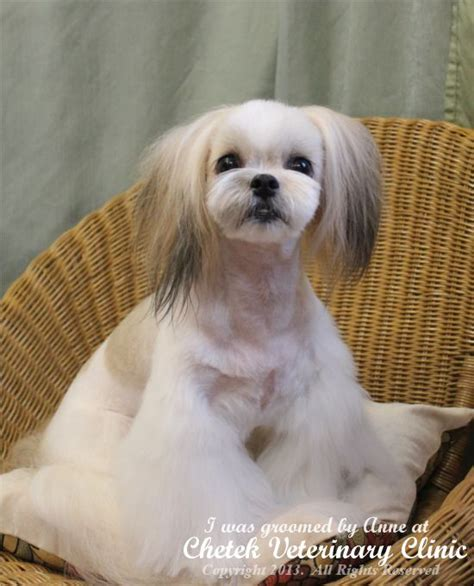 best way to groom a shih tzu 57 best images about shih tzu grooming on the ear shih tzu and korean