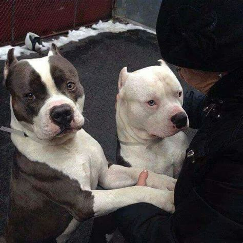 Why Do Pitbulls Shed by Pitbulls Why Do They Bob The Ears So Drastically Dogs Animales Hermosos Bruja