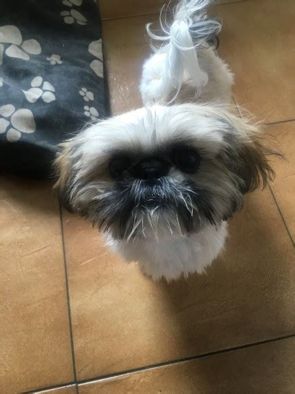 teacup shih tzu for sale uk teacup shih tzu 5 months puppy for sale abergele conwy pets4homes