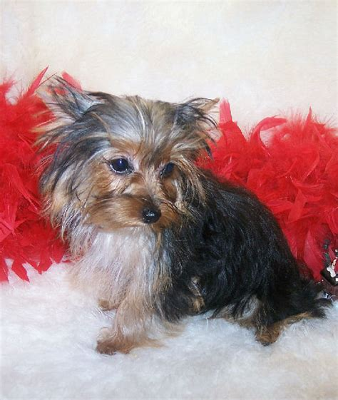 teacup yorkie akc akc tea cup yorkies yorkie puppies for sale