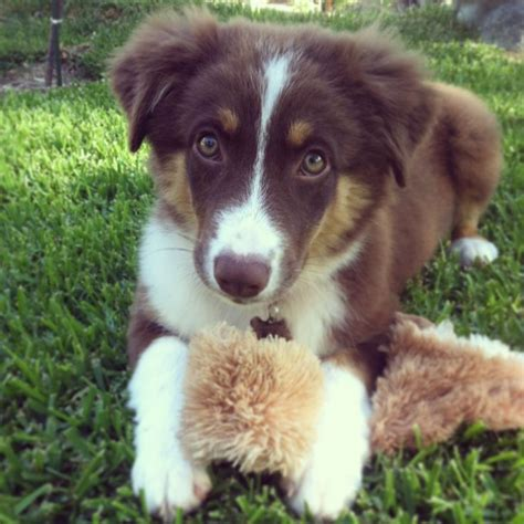 australian shepherd colors tri color australian shepherd animal