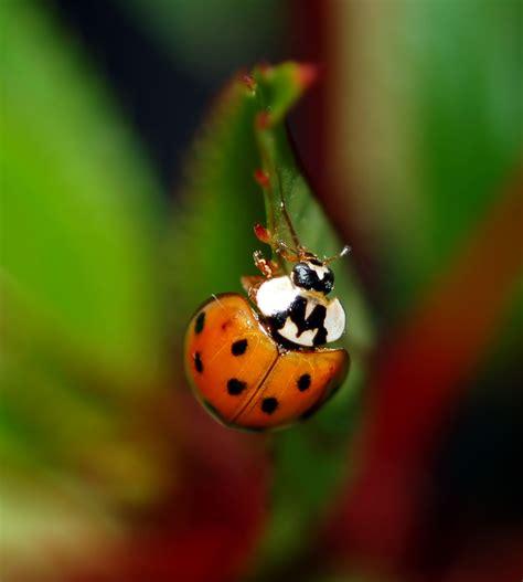 asian beetle asian beetles ladybugs pest island nyc