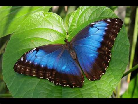 imagenes mariposas exoticas las mariposas exoticas youtube