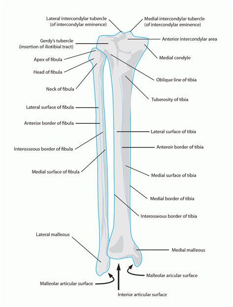 lower extremity diagram lower extremity anatomy bones human anatomy system