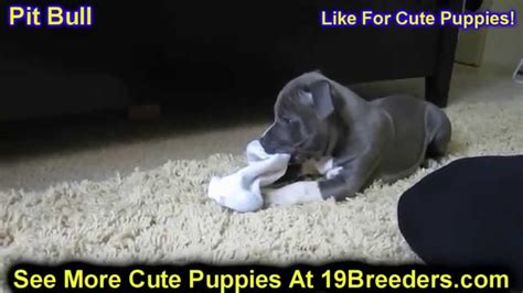 pitbull puppies for sale in wv pitbull puppies dogs for sale in charleston west virginia wv 19breeders