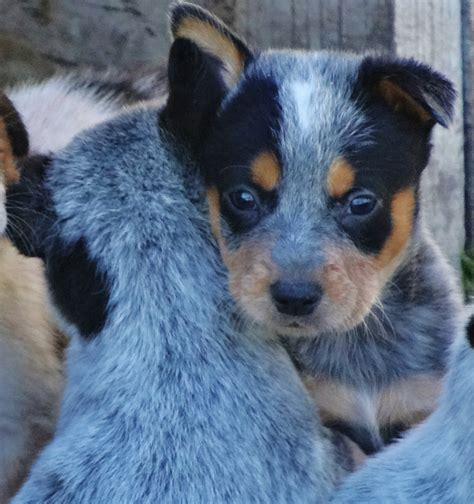 breed temperament temperament of blue heelers breeds picture