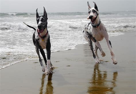 how fast do dogs run how fast can great danes run many