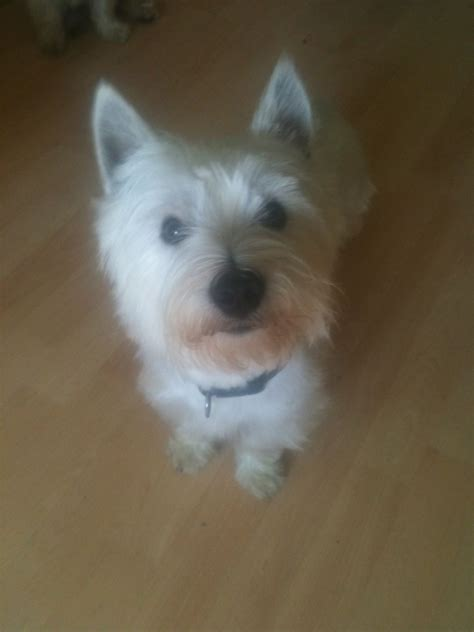 west highland terrier puppies for sale west highland terriers for sale shipley west pets4homes