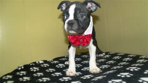 boston terrier puppies nj view ad boston terrier puppy for sale new jersey paterson
