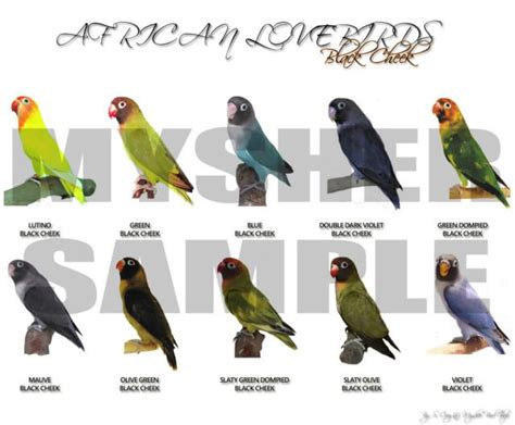 african lovebirds mutations click here to view photos