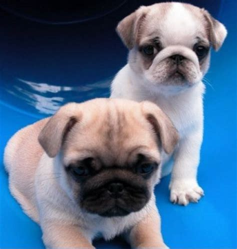 pugs colours pugs puppys and pug on