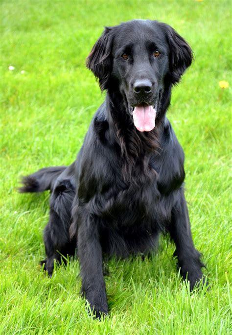 flat coated retriever flat flat coated retriever photograph flat coated retriever dog photo