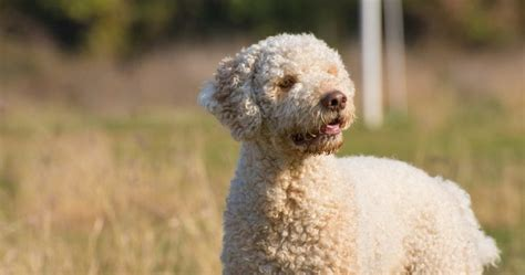 can dogs smell edibles 5 truffle breeds that can help find edible gold