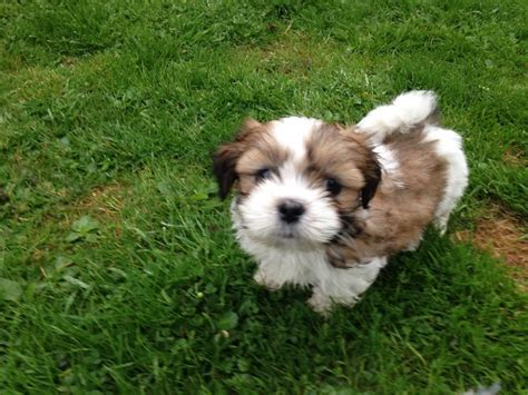 lhasa apso puppy lhasa apso puppies crieff perthshire pets4homes