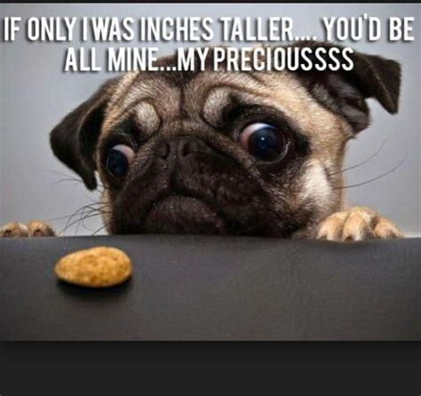 Funny Pug Memes - funny pug dog memes cute pugs pinterest