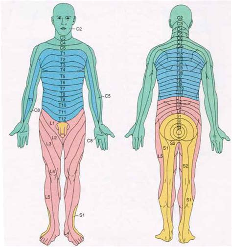 dermatomes map spinal nerve dermatome map