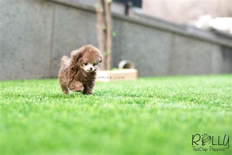 rolly teacup puppies prices sold to lita latte poodle m rolly teacup puppies