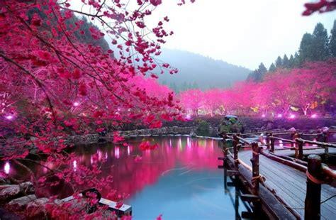 wallpaper cantik pink le cerisier japonais 85 points de vues archzine fr