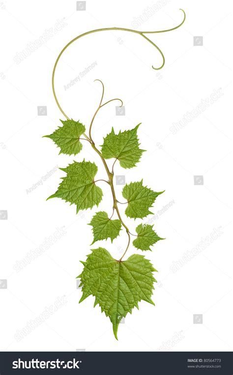 leaf pattern vine pattern of vine leaves stock photo 80564773 shutterstock