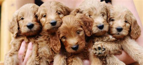 goldendoodle puppies new goldendoodle puppies lonestar doodles