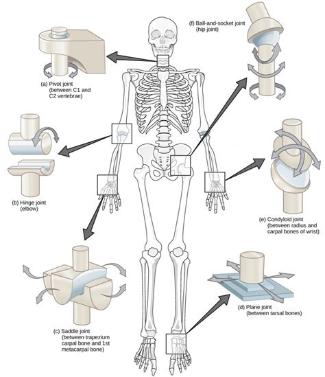 figure joints 19 3 joints and skeletal movement concepts of biology